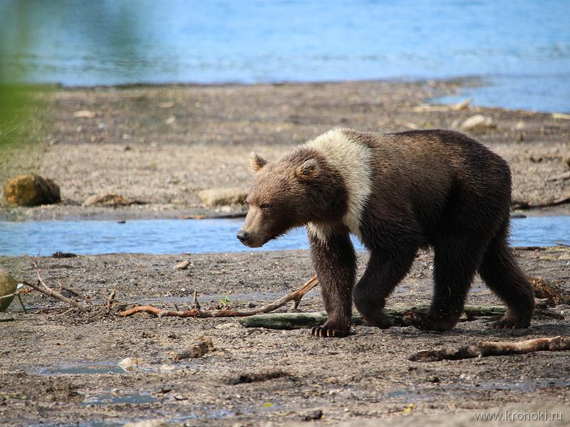 Медведица с особым окрасом поселилась наКурильском озере наКамчатке